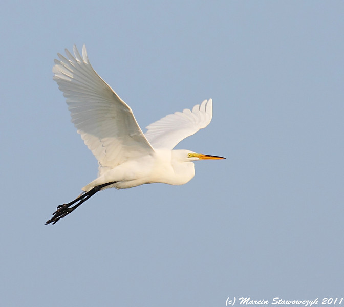 Egret in the skies