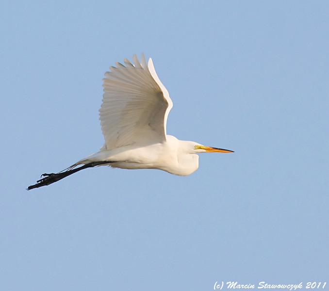 Egret from the side