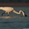 Splashing egret