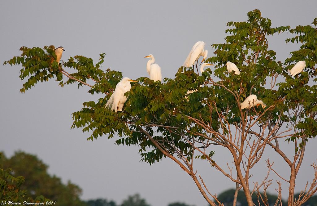 Tree of egrets