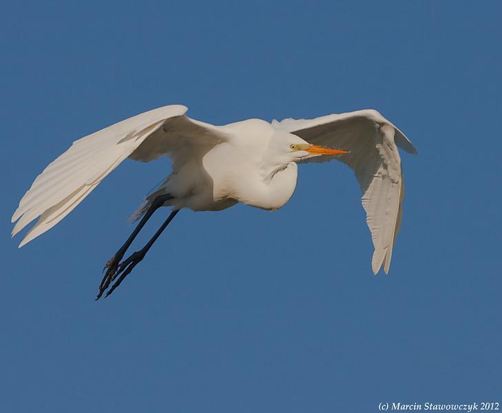 Egret approaching