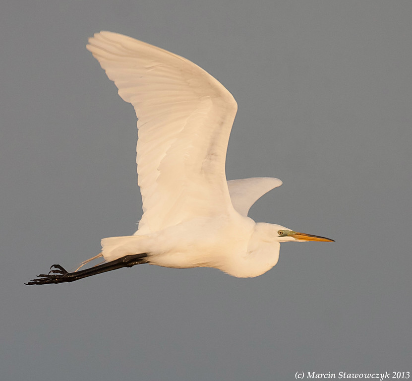Flying great egret