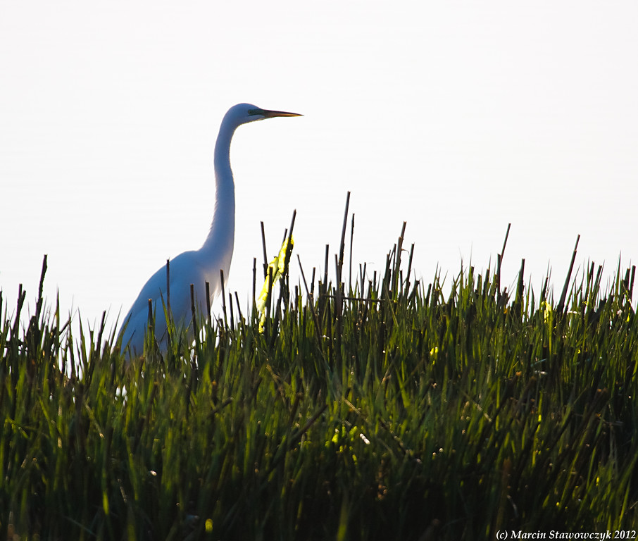 Backlight egret