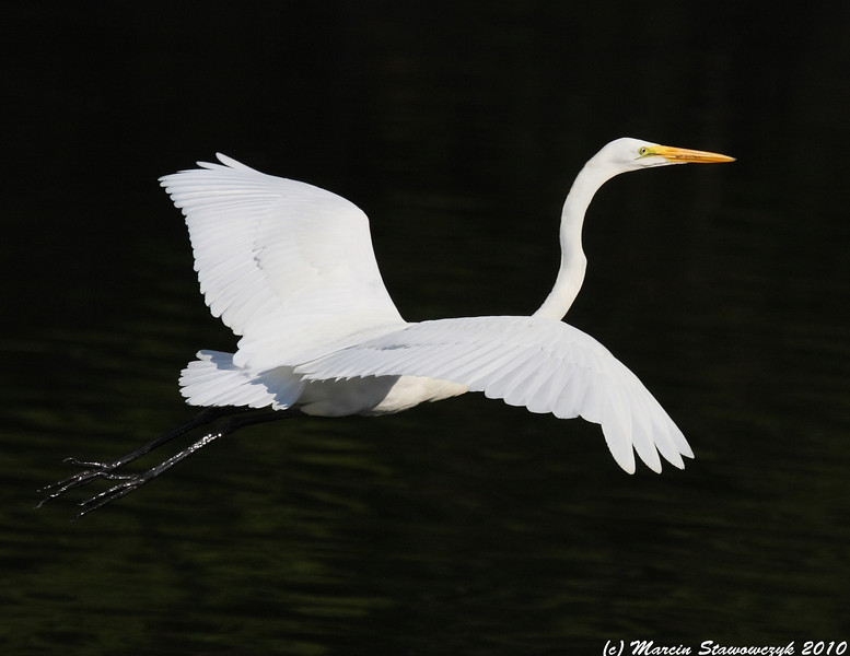 Egret from the back