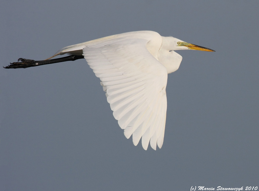SIde of the egret