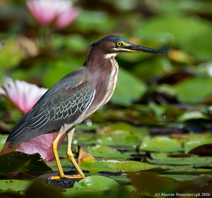 Heron with the lillies