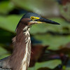 Portrait of a green heron