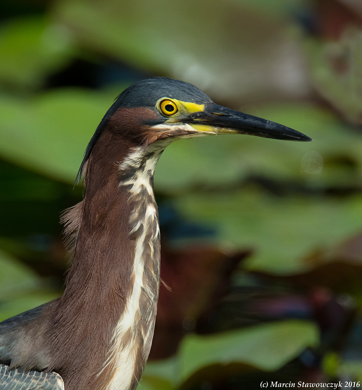 Portrait of a green heron