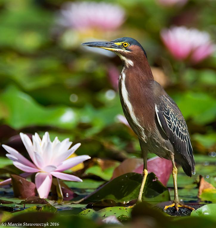 A proud heron