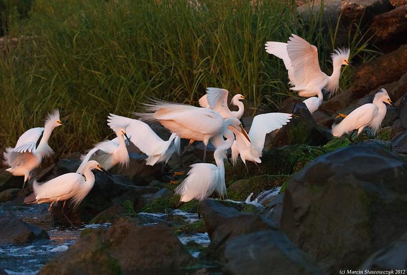 Feast of egrets