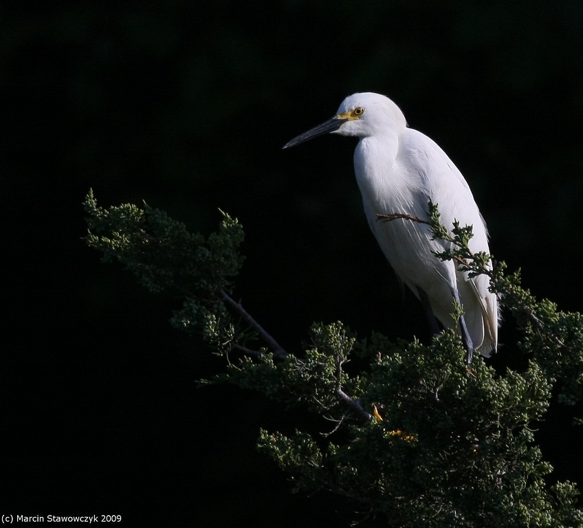 Egret on the tree