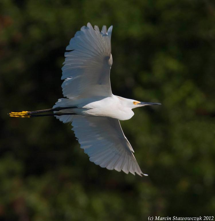 Flying snowy egret