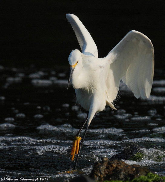 Jumping egret