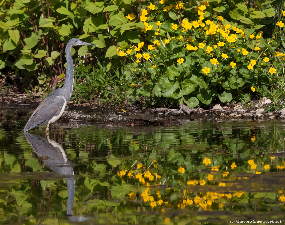 Heron in the spring