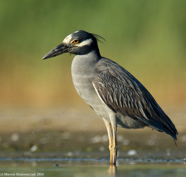 Yellow-crowned in the water