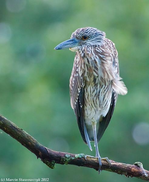 Profile of waiitng heron