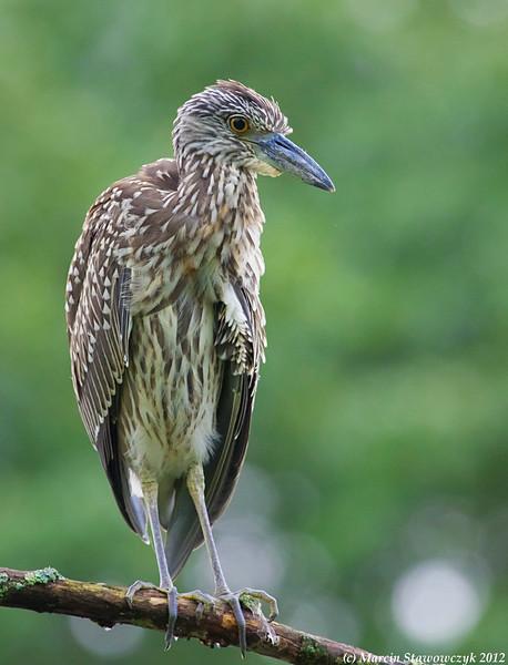 Posing young heron