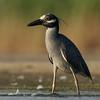 Heron at low tide