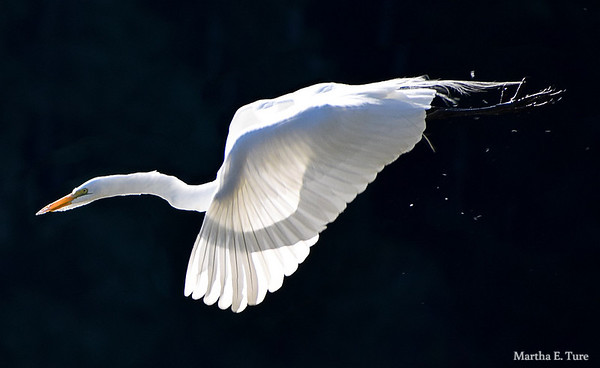 Great egret, breeding plumage, in flight