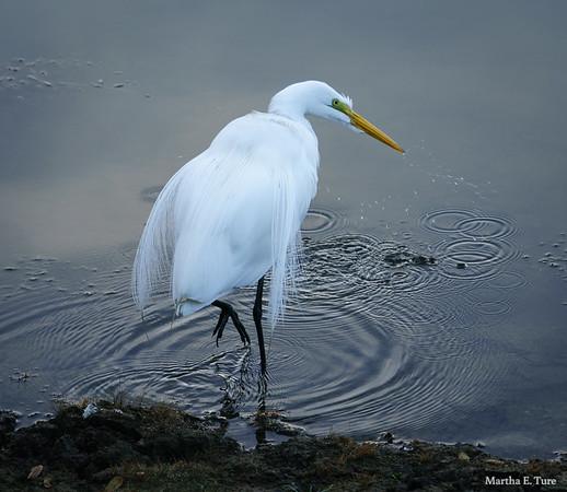 Egret in Breeding Plumage Wading