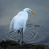 Egret in Breeding Plumage Wading