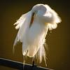 Egret in Breeding Plumage Preening Back