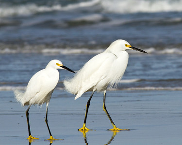 (EG51) Snowy Egrets at New Smyrna Beach