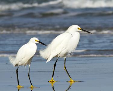 (EG51) Snowy Egrets at New Smyrna Beach