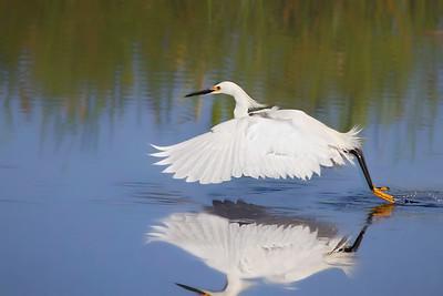 Snowy Egret at Orlando Wetlands Park