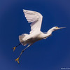 Egret Striding Through Air