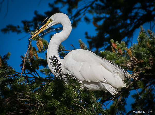 Great Egret With Stick for Nest Building