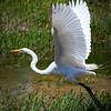 Great Egret Lifting Off