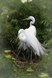 Great Egrets on Nest
