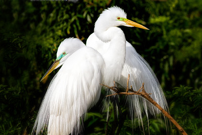 (EG66) Great Egrets in Breeding Plumage