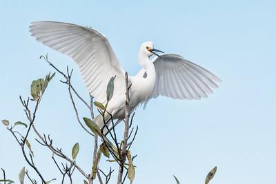 Great Egret at Orlando Wetlands Park