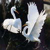 The Mating Game-- Great Egrets
