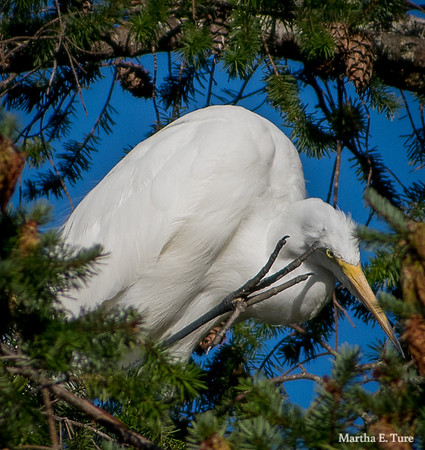 Great Egret Scratching