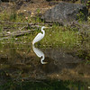 Egret Reflecting, Lake Bon Tempe