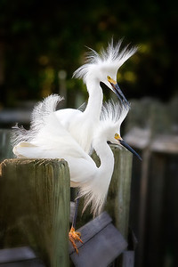 Snowy Egrets (EG64)