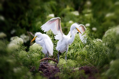 Young Great Egrets on Nest