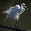Great Egret, Breeding Plumage, Aigrettes in the Wind