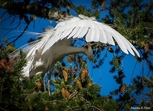 Great Egret Preening Under Wing