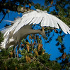 Great Egret Preening Under Wing