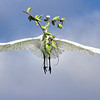 Great Egret carrying branch to nest