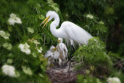 (EG60) Great Egret on Nest