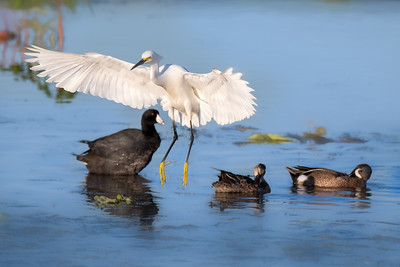 Snowy Egret with Coot and Blue-Winged Teal Duck