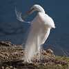 Great egret in breeding plumage preening aigrette