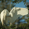 Great Egret Preening, Left Wing Open