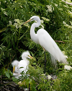 "(EG27) Great Egret - ""A Mother's Watchful Eye""."