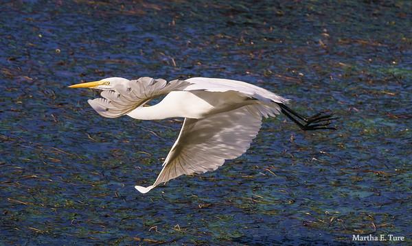Egret  In Flight over Water